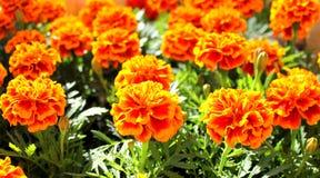 De bloemen van Tagetes Stock Foto's