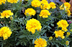 De bloemen van Tagetes Royalty-vrije Stock Afbeelding