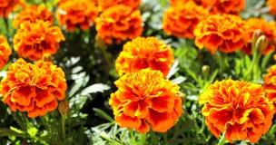 De bloemen van Tagetes Stock Fotografie