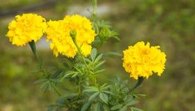 De bloemen van de Tagetetuin, geel knoppenclose-up op vage achtergrond stock afbeelding