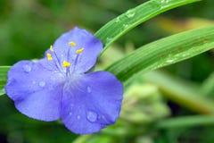 De bloemen van Tradenscantia in bloesem Royalty-vrije Stock Foto's