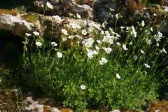 De bloemen van de tuin Stock Afbeelding