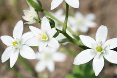 De bloemen van tuin ster-van-Bethlehem royalty-vrije stock afbeelding