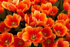 De bloemen van tulpen Stock Afbeeldingen