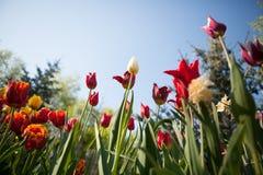 De bloemen van tulpen Stock Foto's