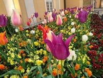 De bloemen van de tulpenkleur royalty-vrije stock afbeelding