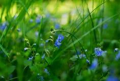 De bloemen van Veronica Royalty-vrije Stock Afbeelding