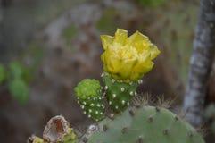De Bloemen van vijgencactuscatus Royalty-vrije Stock Fotografie