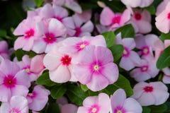 De bloemen van Vincarosea stock afbeeldingen