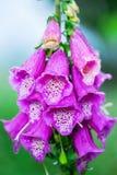 De bloemen van vingerhoedskruidpurpurea Digitaal foxglove Royalty-vrije Stock Foto