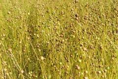 De bloemen van vlas eindigden tot bloei komend, gebied Royalty-vrije Stock Fotografie