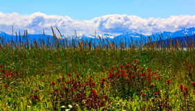 De bloemen van Whild in het Nationale Park van de Baai van de Gletsjer, Alaska Royalty-vrije Stock Foto's