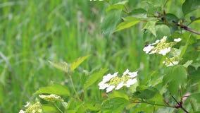 De bloemen van witte kleur slingeren in de wind tegen de achtergrond van een sappig groen gras stock videobeelden