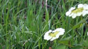 De bloemen van witte kleur slingeren in de wind tegen de achtergrond van een sappig groen gras stock video