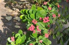 De bloemen van wolfsmelkmilii in de tuin stock fotografie