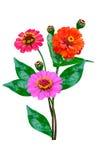 De bloemen van Zinnia Stock Afbeeldingen