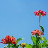De bloemen van Zinnia en blauwe hemel stock fotografie