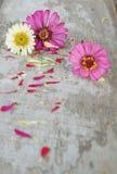 De bloemen van Zinnia op een houten achtergrond Stock Fotografie