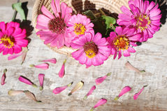 De bloemen van Zinnia op een houten achtergrond Royalty-vrije Stock Fotografie