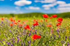 De bloemen van de de zomerpapaver en de blauwe achtergrond van het hemellandschap De mooie weide van de de zomeraard en bloemenac royalty-vrije stock afbeeldingen
