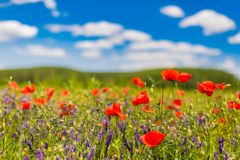 De bloemen van de de zomerpapaver en de blauwe achtergrond van het hemellandschap De mooie weide van de de zomeraard en bloemenac royalty-vrije stock afbeelding
