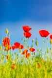 De bloemen van de de zomerpapaver en de blauwe achtergrond van het hemellandschap De mooie weide van de de zomeraard en bloemenac stock foto