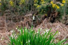 De bloemen van de de zomersneeuwvlok royalty-vrije stock fotografie