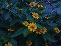 De bloemen van de zon royalty-vrije stock afbeelding
