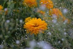 De bloemen van zonnebloemheliopsis Royalty-vrije Stock Foto's