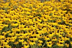 De Bloemen van zwarte Susan van Ogen Stock Afbeeldingen