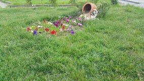 De bloemen worden hart-gevormd, naast de mand zit een dakloze bruine witte hond stock video