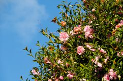 De bloemen zijn het bloeien sasanqua Stock Foto