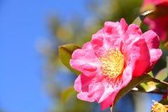 De bloemen zijn het bloeien sasanqua Royalty-vrije Stock Foto's