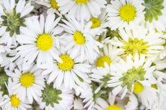 De bloemenachtergrond van Daisy Stock Foto's