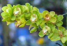 De de bloemenbloei van Cattleyalabiata in de lente versiert Stock Foto's
