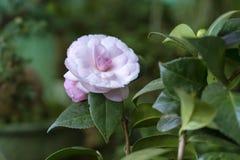 De de bloemenbloei van Cattleyalabiata in de lente versiert Royalty-vrije Stock Foto