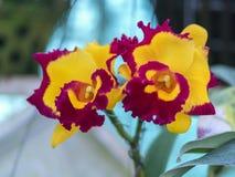 De de bloemenbloei van Cattleyalabiata in de lente versiert Stock Afbeeldingen