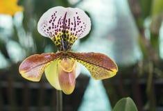 De de bloemenbloei van Cattleyalabiata in de lente versiert Stock Foto