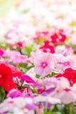 De bloemenbloesem van Vincarosea in de tuin royalty-vrije stock afbeeldingen