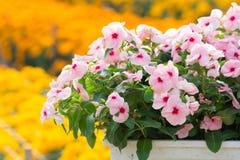 De bloemenbloesem van Vincarosea in de tuin stock afbeeldingen