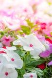 De bloemenbloesem van Vincarosea in de tuin royalty-vrije stock foto's