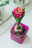 De bloemenbol van de de lente rode hyacint in roze glaspot op rustieke witte houten hobby als achtergrond, stilleven en het tuini Stock Foto