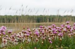 De bloemenclose-up van de bloesem roze Zuinigheid royalty-vrije stock afbeelding