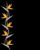 De bloemengrens Strelitzia van de paradijsvogel Royalty-vrije Stock Afbeelding
