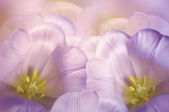 De bloemenlente зroze-violette achtergrond Bloesem van bloemen de roze tulpen Close-up De kaart van de groet royalty-vrije stock foto
