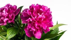 De bloemenpioenen zijn op de lijst stock foto's