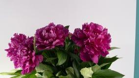 De bloemenpioenen zijn op de lijst royalty-vrije stock afbeelding