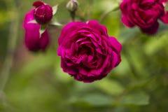 De bloemenroze van struikrozen op groene vage achtergrond Stock Foto's