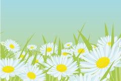 De bloemgebied van Daisy Royalty-vrije Stock Afbeeldingen