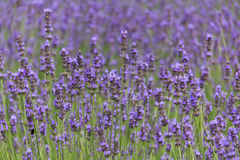 De bloemgebied van de lavendel in de zomer Stock Fotografie